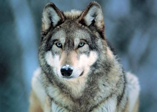 grey-wolf-i8119